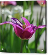 Very Pretty Blooming Purple Tulip With Spikey Petals Acrylic Print