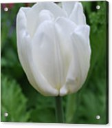 Very Pretty Blooming White Tulip In A Garden Acrylic Print