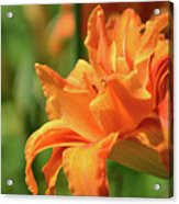 Very Pretty Double Orange Daylily Flowering In A Garden Acrylic Print