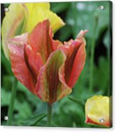 Very Pretty Flowering Pink And Green Striped Tulip Acrylic Print