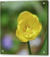 Very Pretty Flowering Yellow Tulip Blooming In A Garden Acrylic Print