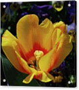 Very Pretty Flowering Yellow Tulip With A Red Center Acrylic Print