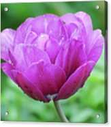 Very Pretty Lavender And Pink Tulip Blossom Flowering Acrylic Print