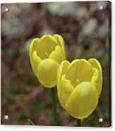 Very Pretty Pair Of Flowering Yellow Tulip Blossoms Acrylic Print