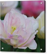 Very Pretty Pale Pink Parrot Tulip Flower Blossom Acrylic Print