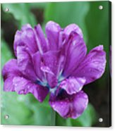 Very Pretty Purple Tulip With Dew Drops On The Petals Acrylic Print
