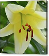 Very Pretty Single Blooming Yellow Daylily Flower Acrylic Print