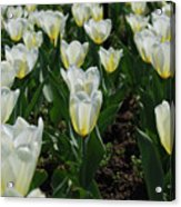 Very Pretty Spring Garden With Flowering White Tulips Acrylic Print