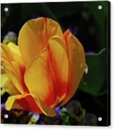 Very Pretty Yellow And Red Tulip Flower Blossom Acrylic Print