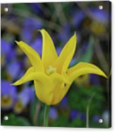 Very Pretty Yellow Tulip With Spikey Petals Acrylic Print