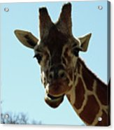 Very Tall Giraffe Acrylic Print