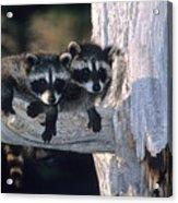Very Young Raccoons Acrylic Print