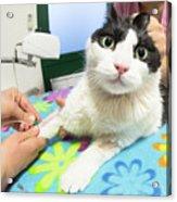 Veterinarian Cat Care Acrylic Print