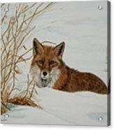 Vexed Vixen - Red Fox Acrylic Print