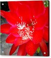 Vibrant Cacti Acrylic Print
