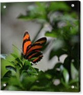Vibrant Colors To A Orange Oak Tiger Butterfly Acrylic Print