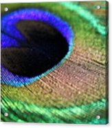 Vibrant Colours Of A Peacock Feather Acrylic Print