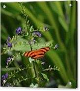 Vibrant Oak Tiger Butterfly Surrounded By Blue Flowers Acrylic Print