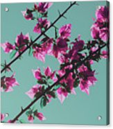 Vibrant Pink Flowers Bloom Floral Background Acrylic Print