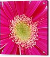 Vibrant Pink Gerber Daisy Acrylic Print