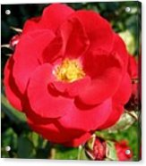 Vibrant Red Rose Acrylic Print