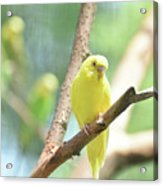 Vibrant Yellow Budgie Parakeet In The Summer Acrylic Print