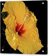 Vibrant Yellow Hibiscus By Kaye Menner Acrylic Print
