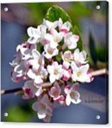 Viburnum Bloom Acrylic Print