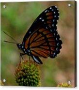 Viceroy Butterfly Acrylic Print