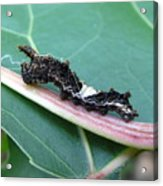 Viceroy Caterpillar Acrylic Print