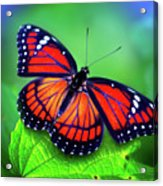 Viceroy Perch Acrylic Print