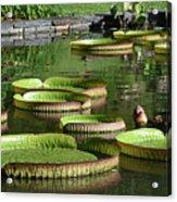 Victoria Amazonica Giant Lily Pads  Acrylic Print