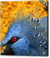 Victoria Crowned Pigeon Close Up Acrylic Print
