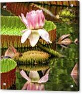 Victoria Cruziana Waterlily Acrylic Print