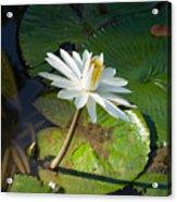 Victoria-regia Flower Acrylic Print