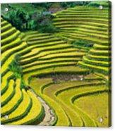 Vietnam Rice Terraces Acrylic Print