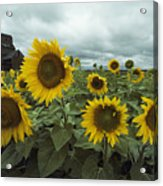 View Of A Field Of Sunflowers Acrylic Print