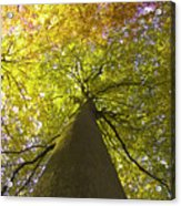 View To The Top Of Beech Tree Acrylic Print