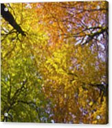 View To The Top Of Beech Trees Acrylic Print