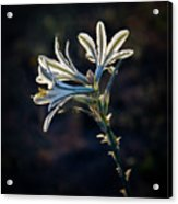 Vignetted Ajo Lily Acrylic Print