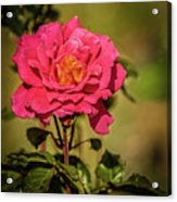 Vignetted  Rose Acrylic Print