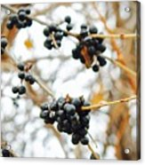Vignettes - Indigo Winter Berries Acrylic Print