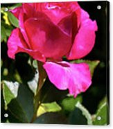 Vincent Red Rose Acrylic Print