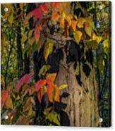 Vine And Hickory Acrylic Print