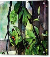 Vine And Trellis Digital Watercolor 4472 W_2 Acrylic Print