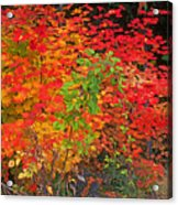 Vine Maple In Oregon Acrylic Print