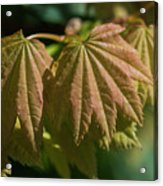 Vine Maple Leaves Acrylic Print