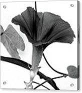 Vine Offering B And W Acrylic Print