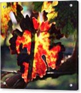 Vineyard 26 Acrylic Print