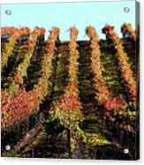Vineyard 27 Acrylic Print